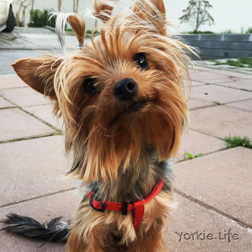 pictures of yorkies