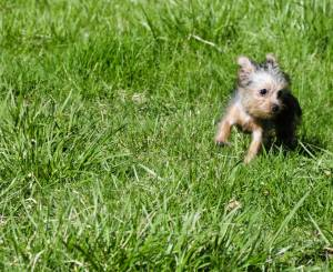 Yorkie and exercises