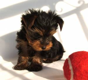 Yorkshire terrier training to stay in a crate
