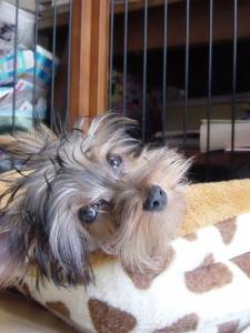 Separation anxiety in Yorkshire terriers