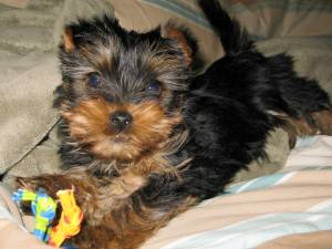 What To Buy And What To Do Before You Take A Yorkie Puppy At Home