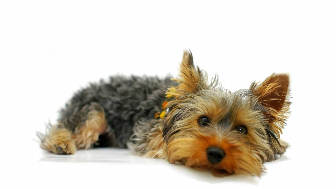 How To Deal With Separation Anxiety In Yorkshire Terrier