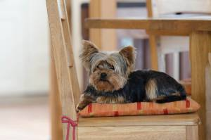 Yorkshire Terrier General Breed Information Yorkie Life