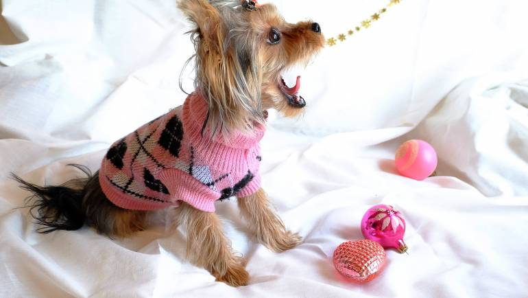 Top Five Reasons That Will Convince You To Choose A Yorkie