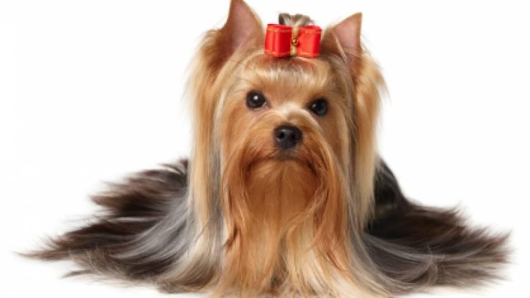 Yorkshire Terrier [General Breed Information]