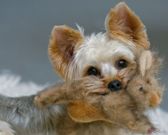 Yorkshire terrier biting