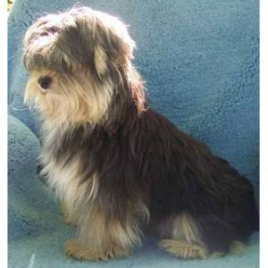 Morkie full grown