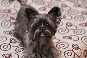 Shorkie (shih tzu yorkie mix full grown)