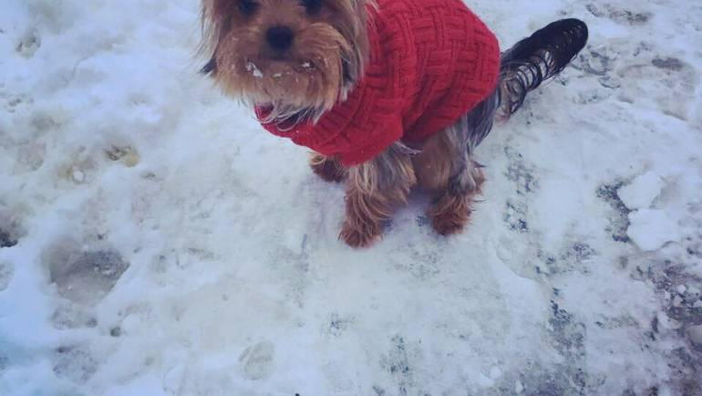 Tips on How to train a Yorkshire terrier to pee and poo outside and how to potty train a Yorkie