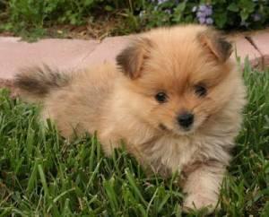 Yoranian puppy