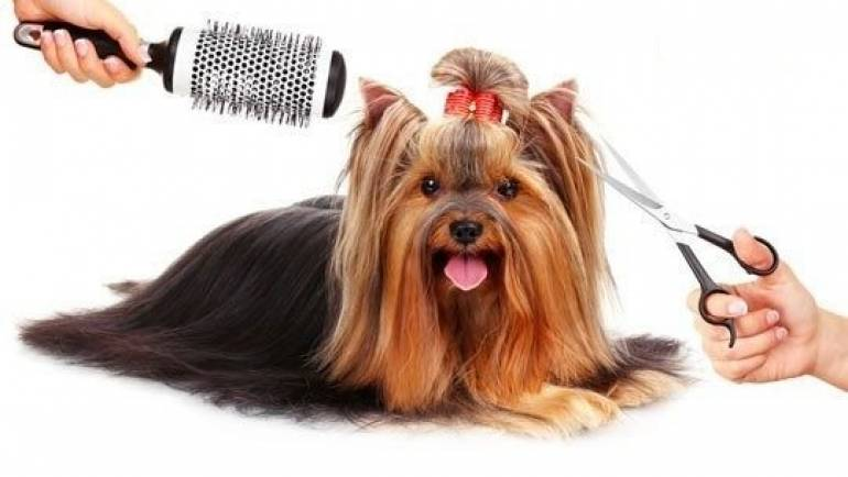 How To Groom A Yorkie? Grooming A Yorkshire Terrier
