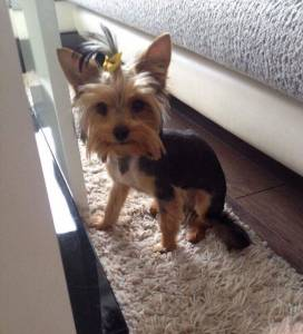 How To Groom A Yorkie Grooming A Yorkshire Terrier Yorkie Life