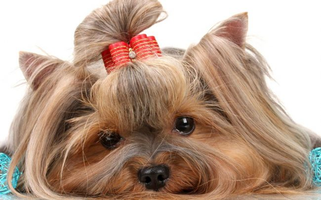 Yorkie top knot