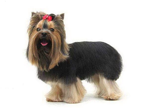 Yorkie haircut ideas