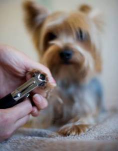 How To Groom A Yorkie Grooming A Yorkshire Terrier Yorkielife