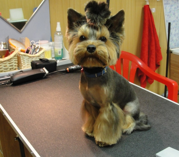 Yorkshire terrier haircut ideas
