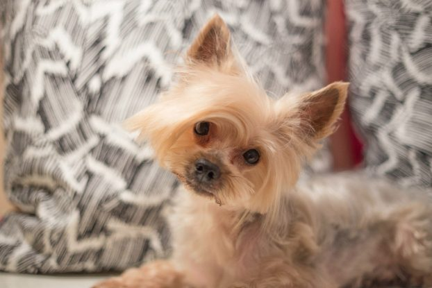 Yorkie Haircuts For Males And Females 60 Pictures Yorkielife