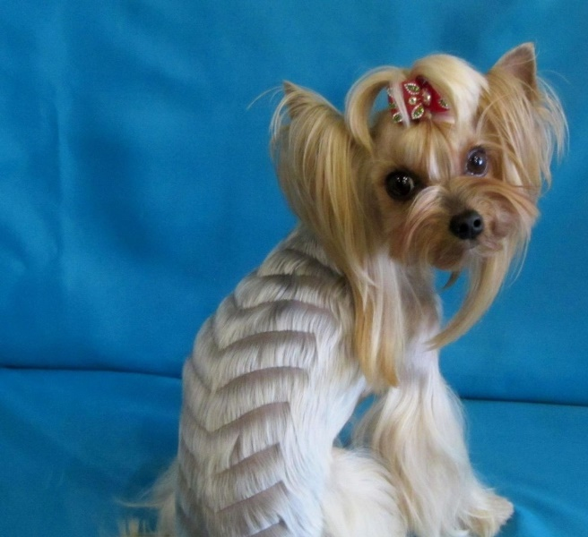 female yorkie haircuts hair yorkie goldenacresdogs 3159 | designer haircut