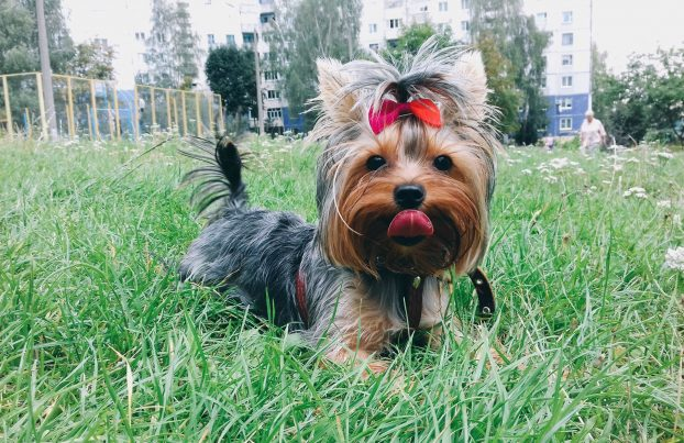 Yorkshire terrier top knot