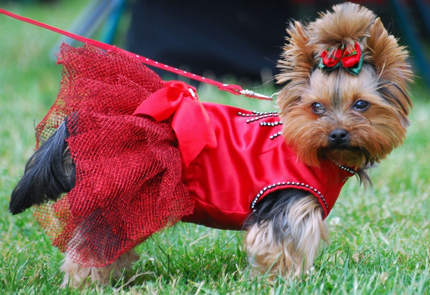 Teacup Yorkie with dress and cute hairstyle