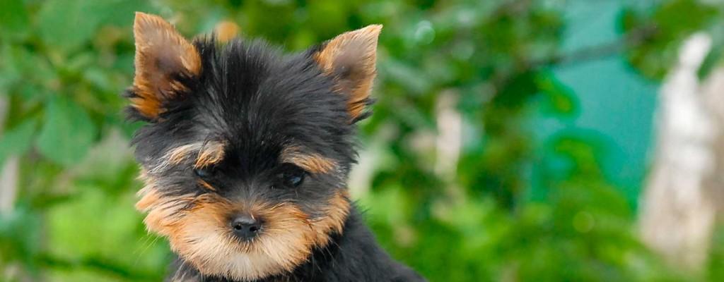 Yorkie puppy hairstyle