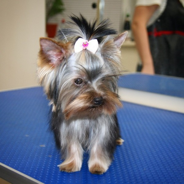 Cute Teacup Yorkie haircut