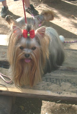 Teacup Yorkie with long hair