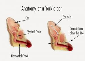 Anatomy of a Yorkie ear