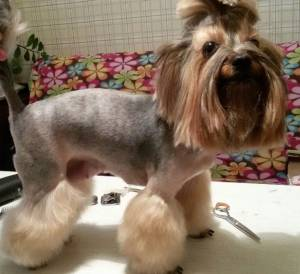 Yorkshire terrier Schnauzer cut