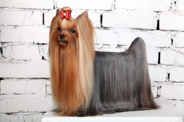 Yorkie show trim hairstyle