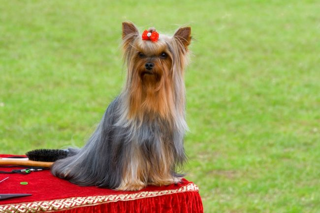 Yorkie haircuts for males and females (60 + pictures)