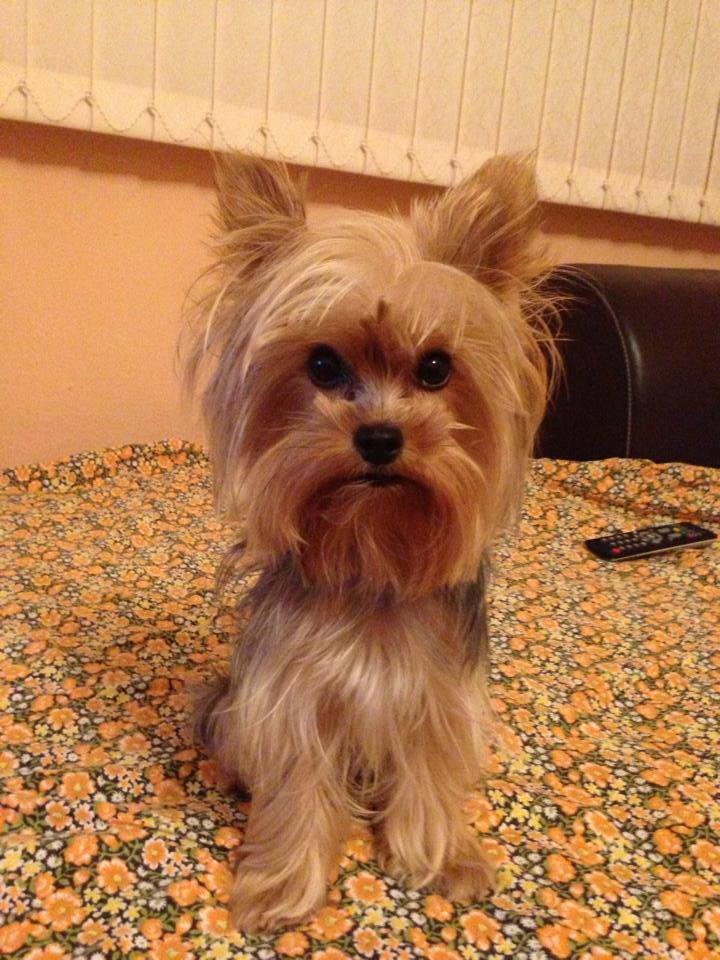 Yorkie Haircuts For Males And Females 60 Pictures Yorkiefe