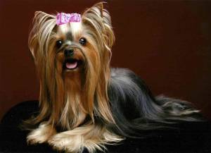 Yorkie Three Layer Yorkie Haircut