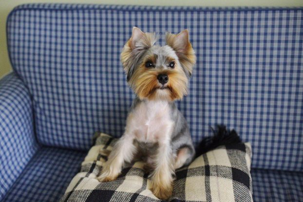 Yorkie haircuts for males and females 60 pictures yorkiefe short yorkie haircut solutioingenieria Images