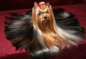 Yorkie long trim