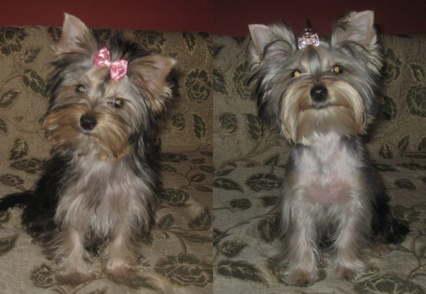 Yorkie Haircuts For Males And Females 60 Pictures