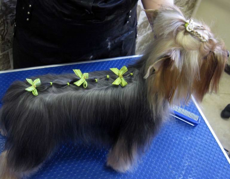 Yorkie long trim haircut modified