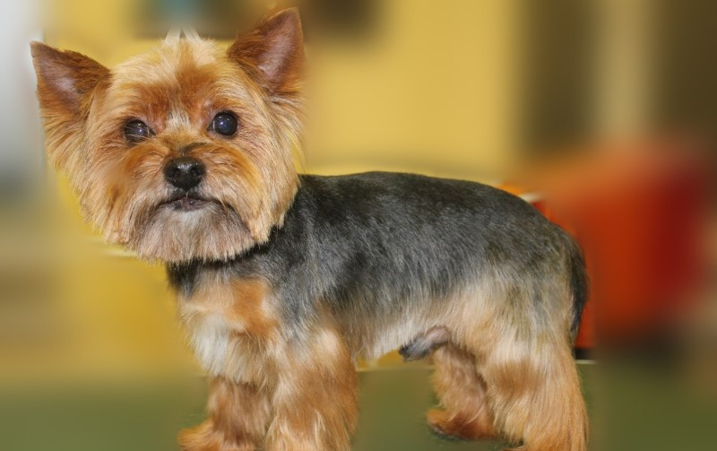 Male Yorkie Haircut Styles Haircuts Models Ideas