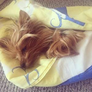 Yorkshire terrier clothes