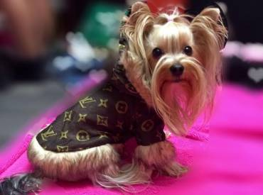 Best Yorkie Clothes And Outfits