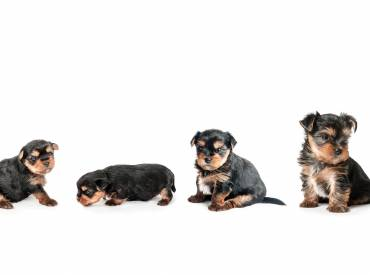 Yorkie growth chart and Yorkshire terrier development stages