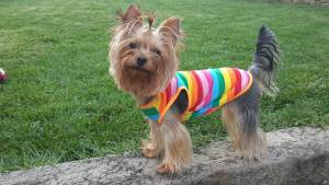 Yorkie outfits