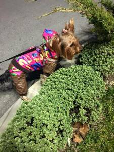 Best Yorkie Clothes And Outfits Yorkielife