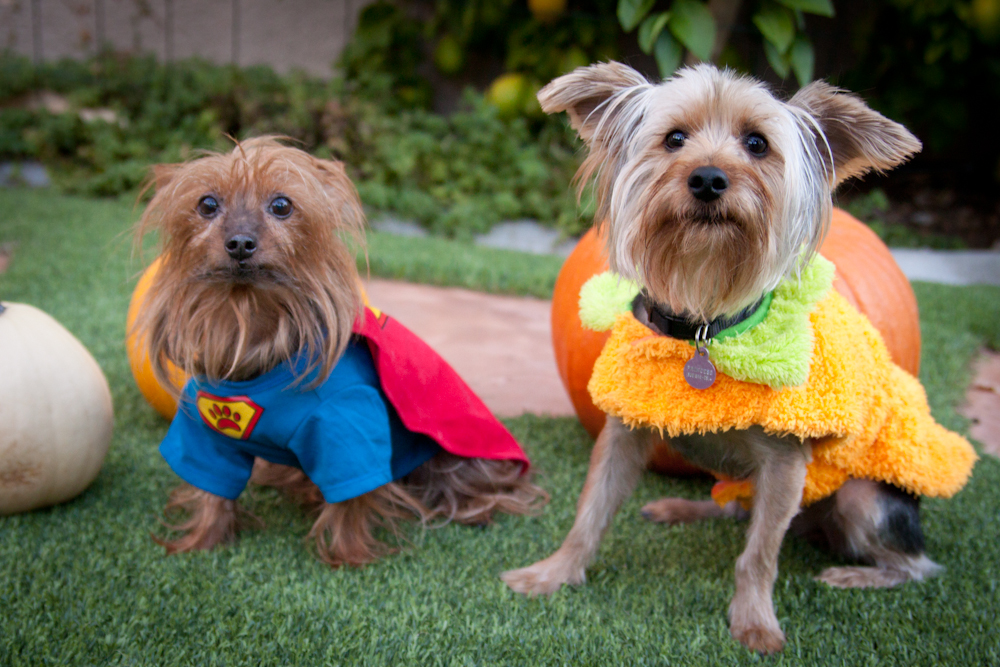 Yorkie Dog Halloween Costumes Yorkielife