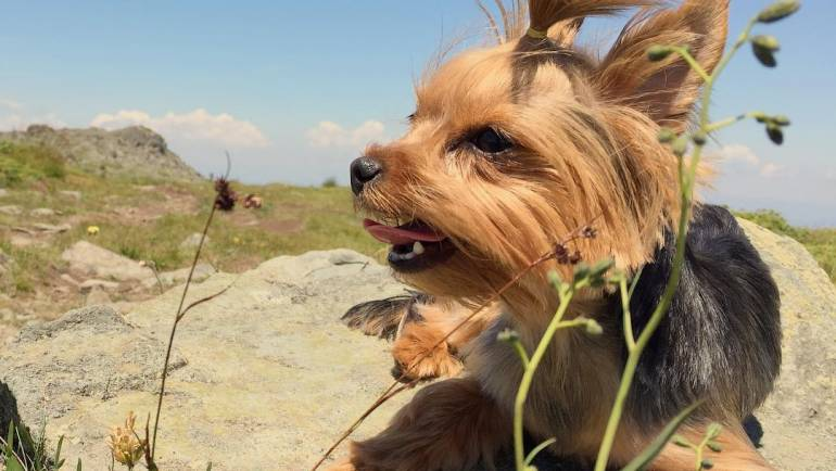 The Yorkshire Terrier (All you need to know about the breed)