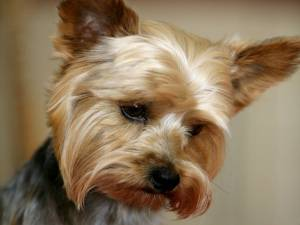 Yorkie face puppy cut