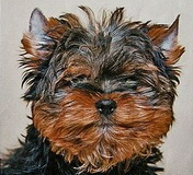 Black with grey Yorkie pupyy head