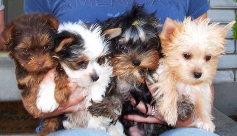 Different coloured Yorkies