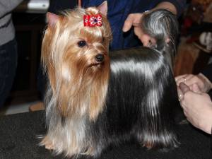 Yorkie on the show ring
