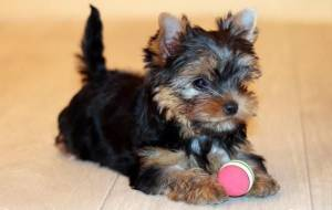 Yorkie puppy colors